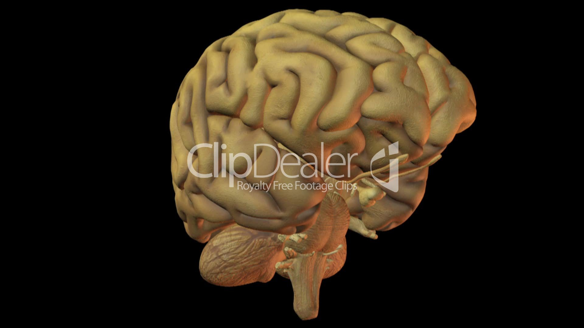 Human Brain Royalty Free Video And Stock Footage