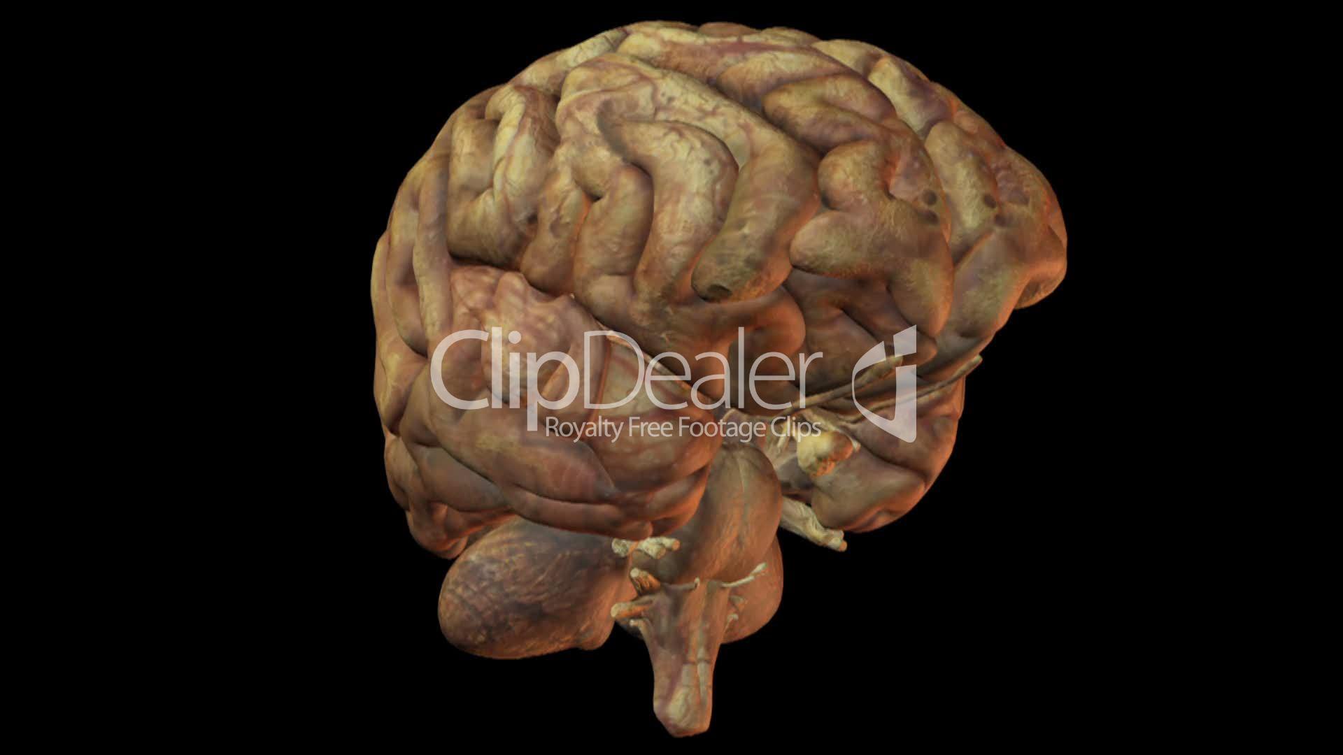 Human Brain Lizenzfreie Stock Videos Und Clips