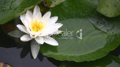 Liliy Flower