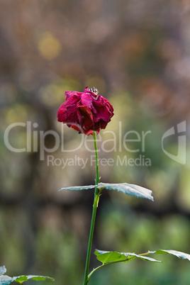 letzte Rose im Herbst, last rose in autumn
