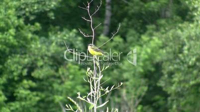 forest birdie.