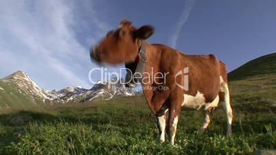 Cow Grazing 2