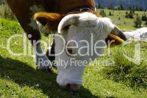 Kuh beim Weiden