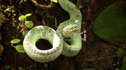 Two-striped forest pitviper (Bothriopsis bilineata)