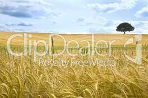 Field of Wheat and Tree On The Horizon
