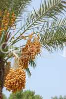 Date palm yield (Phoenix dactylifera), UAE