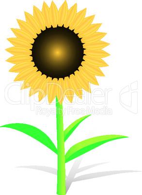 Vector Sunflower on white