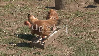 Chickens eating in farm