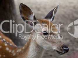 young deer muzzle