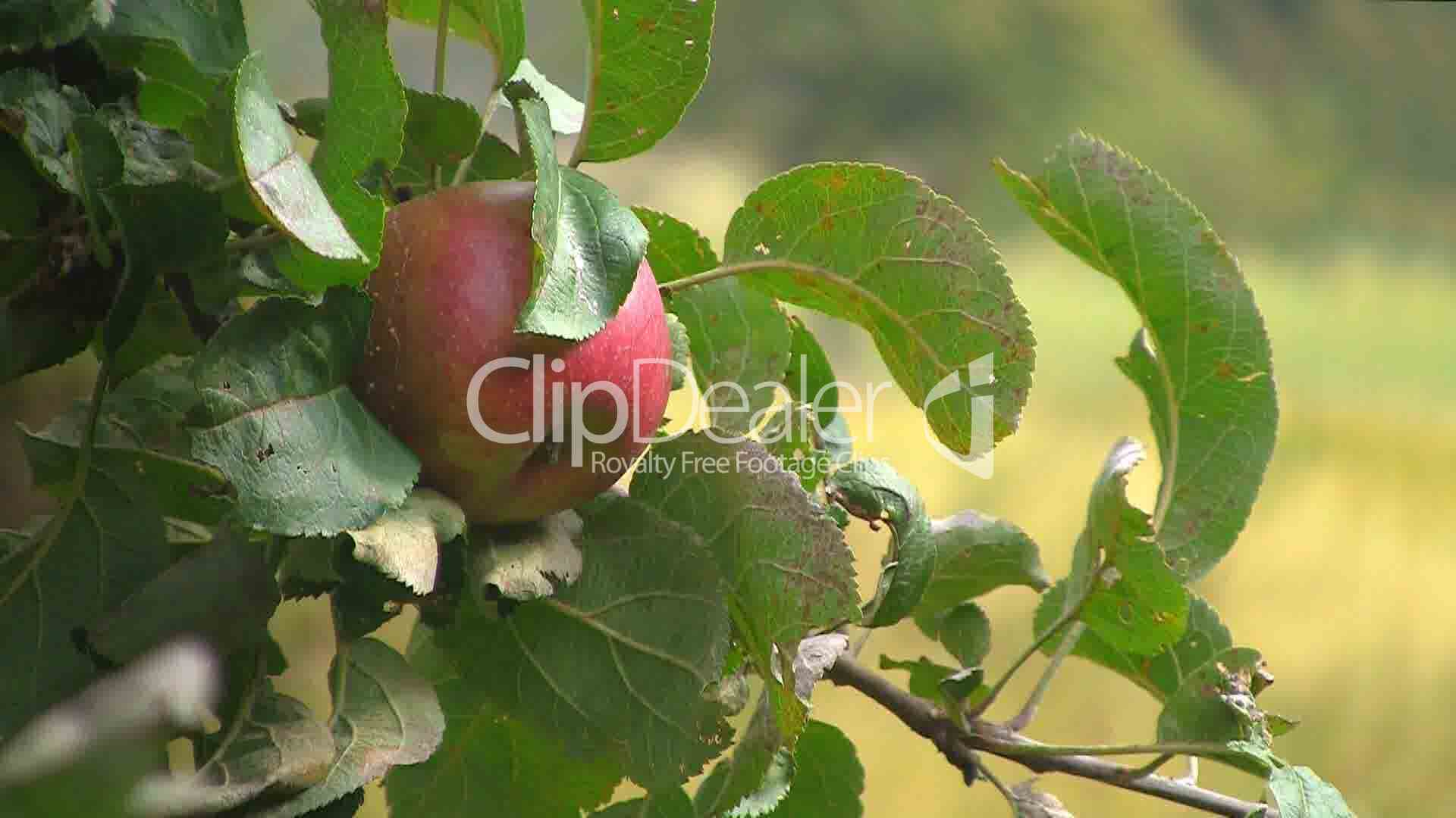 roter reifer apfel an einem apfelbaum royalty free video and stock footage. Black Bedroom Furniture Sets. Home Design Ideas