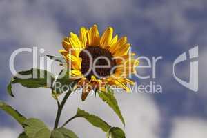 Helianthus annuus, Sonnenblume