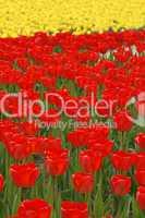 Tulpenfeld mit roten Tulpen
