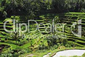 Rice Terrace Bali 1927