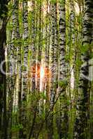 Sun in birch grove