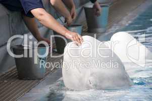 White  whale 2