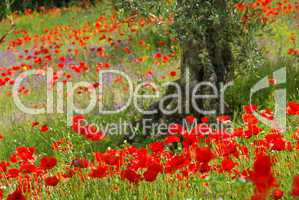 Mohn unter Olivenbaum - poppy and olive tree 09