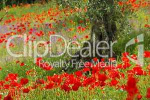Mohn unter Olivenbaum - poppy and olive tree 09