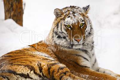 Young tiger portrait.