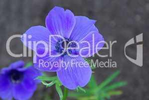 Gartenanemone - poppy anemone 07