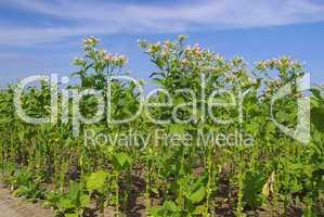 Virginischer Tabak - cultivated Tobacco 12