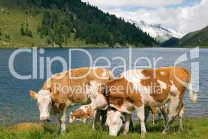 Kühe am Bergsee