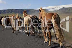 Icelandic Horses Running Along A Road