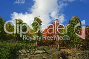 Weinberg - vineyard 20