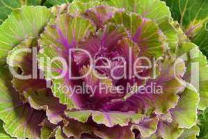 Zierkohl - decorative cabbage 02