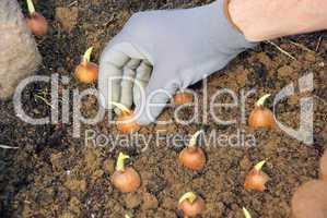 Zwiebel stecken - bulb planting 14