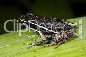 Pale-striped Amazonian poison-frog (Ameerega picta)