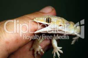 Tropical house gecko biting a finger