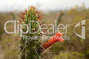 Cactus (Cleistocactus sepium)