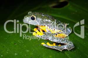 Amazon leaf frog (Cruziohyla craspedopus)