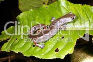 Ecuadorian Climbing Salamander (Bolitoglossa ecuatoriana)