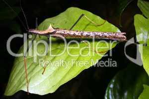 Amazonian stick insect