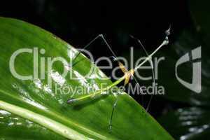 Stick grasshopper (Proscopiidae)