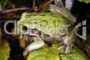 Marsupial frog (Gastrotheca riobambae)
