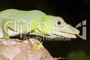 Amazon green anole - Anolis punctatus