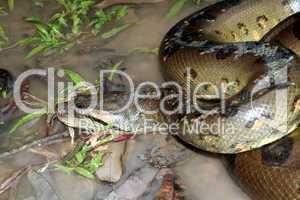 Anaconda - Eunectes murinus