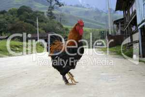 Red rooster in an Ecuadorian village