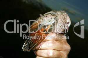 .Common ground dove