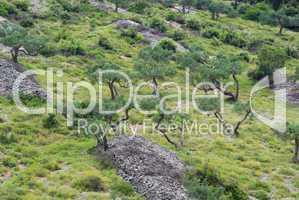 Olivenhain - olive grove 19