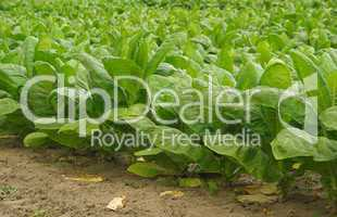 Virginischer Tabak - cultivated Tobacco 06