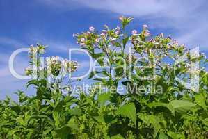 Virginischer Tabak - cultivated Tobacco 09