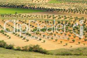 Olivenhain - olive grove 16