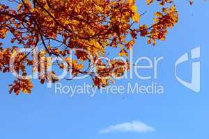 Autumn oak leaves against the dark blue sky