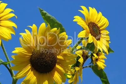 Sonnenblumen - sunflowers 26
