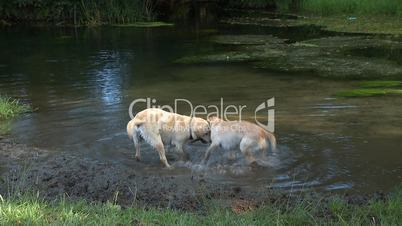 Dogs playing on river
