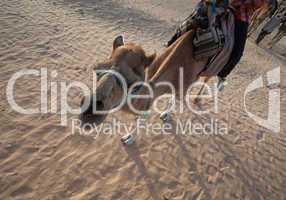Kamelkarawane in der Wüste Sahara