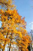 Maple tree leafs in warm autumn colors